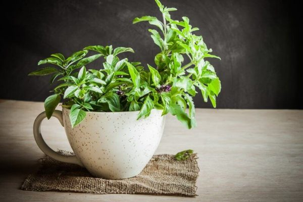 Tulsi plant in a cup